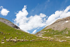 Herd of Sheep Grazing on Mountain Meadow Royalty Free Stock Photography