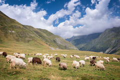 Herd of sheep grazing near Pourtalet pass, Ossau valley in the Pyrenees France Royalty Free Stock Image