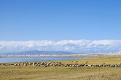 Herd of sheep grazing near Qinghai Lake. Herd of sheep grazing at a vast steppe near Qinghai Lake Royalty Free Stock Image