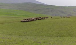 A herd of sheep grazing next to the ancient mausoleums. Nature Stock Images