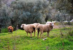 Herd of sheep grazing between olive trees stock images