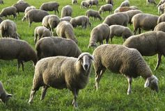 Herd, Sheep, Grazing, Pasture Stock Photography
