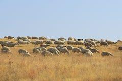 Sheeps in Anatolia, Turkey. Herd of sheep grazing on pasture in Anatolia, Turkey Royalty Free Stock Image