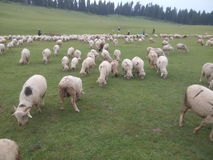 Herd of sheep. Grazing sheeps in Kashmir valley stock photo