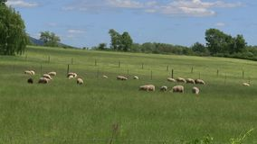 Herd of sheep grazing. A view or scene of Nature stock footage