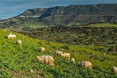 Herd of sheep on a green hill in springtime Stock Image