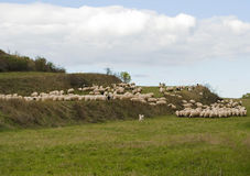 Herd of sheep. A herd of sheep on the green hills stock photography