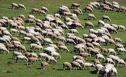 Herd of sheep on green meadow 3 Royalty Free Stock Photography