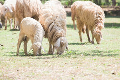 Herd of sheep. On green meadow Stock Photo