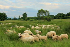 Herd of sheep on green meadow Royalty Free Stock Photo