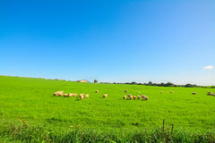 Herd of sheep on a green meadow Royalty Free Stock Photography