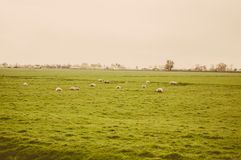 Herd of sheep at green meadow Royalty Free Stock Photos