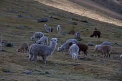 Herd of Sheep on Green Pasture during Daytime Royalty Free Stock Image