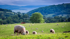 Herd of sheep on green pasture in District Lake, UK Royalty Free Stock Photos