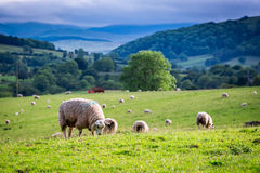 Herd of sheep on green pasture, England. Europe Stock Image