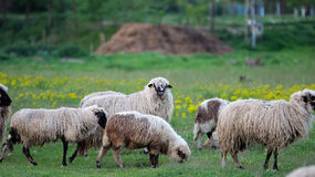 Herd of Sheep on Green Pasture Land Stock Images