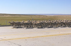 Herd of Sheep Heading Downa Road in Patagonia Stock Photo