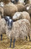Herd of sheep. On the farm, autumn day Stock Images