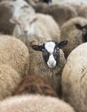Herd of sheep. On the farm, autumn day Royalty Free Stock Image