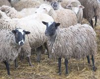 Herd of sheep. On the farm, autumn day Royalty Free Stock Photography