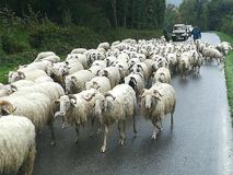 Herd of sheep. Walking along the road on the French pyrenees Stock Photos