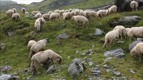 Herd of sheep stock video footage