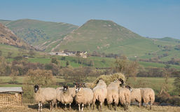 Herd of sheep on hill farm. Flock of sheep at feeder in peak district national park stock image