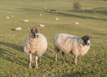 Herd of sheep on hill farm Stock Photos