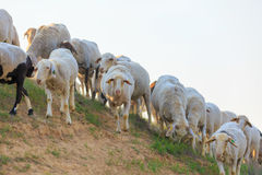Herd of sheep on hill Stock Photo
