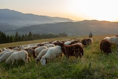 A herd of sheep on a hill in the rays of sunset. Sheep graze royalty free stock photos