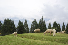 Herd of sheep on the hillside Royalty Free Stock Photography