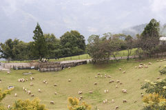 Herd of sheep on the hillside Stock Photography