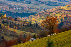 Herd of sheep on hillside meadow in autumn Royalty Free Stock Photography