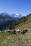 Herd Of Sheep Infront Of Grossglockner Highest Mountain In Austria 3.798m Royalty Free Stock Images