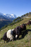 Herd Of Sheep Infront Of Grossglockner Highest Mountain In Austria 3.798m Royalty Free Stock Photos