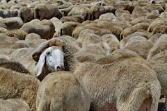 Herd on sheep in Italian fields Royalty Free Stock Images