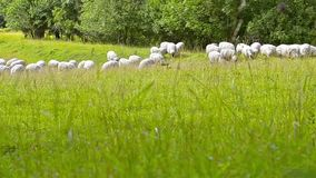 Herd of sheep, lamb and goats grazing in field stock video footage