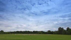 Herd of sheep landscape stock video