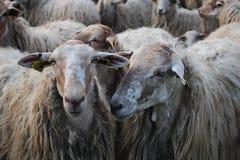 Herd, Sheep, Livestock, Cow Goat Family stock photography