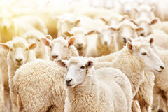 Herd of sheep. Livestock farm, flock of sheep Royalty Free Stock Photos