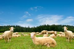 Herd of sheep. Herd with lots of sheep royalty free stock photos