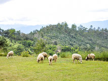 Herd of sheep Royalty Free Stock Photo