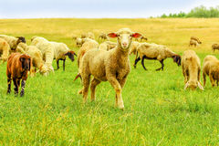Herd of sheep on a meadow Stock Photos