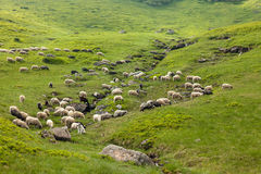 Herd of sheep on meadow. In Carpathian mountains stock photography