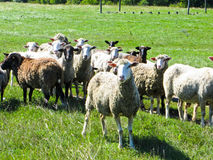 Herd of sheep on a meadow Stock Photo