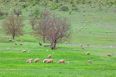 Herd of sheep on the meadow Royalty Free Stock Photography