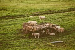 Herd of sheep at the meadow Royalty Free Stock Photography