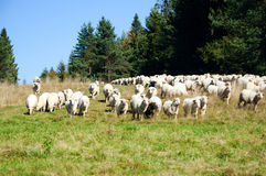 Herd of sheep on the meadow Royalty Free Stock Photo