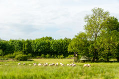 Herd of sheep in a meadow Royalty Free Stock Image
