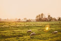 Herd of sheep at the meadow at sunset Royalty Free Stock Photo